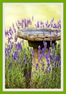 lavendar by birdbath